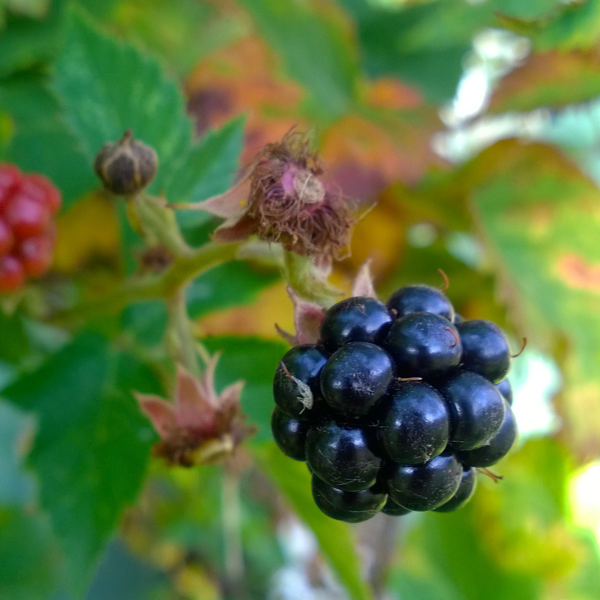 Autumn-Colours_berry-1