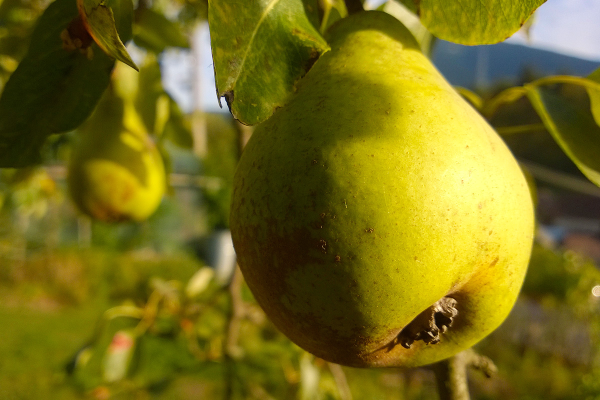 Autumn-Colours_pears-1