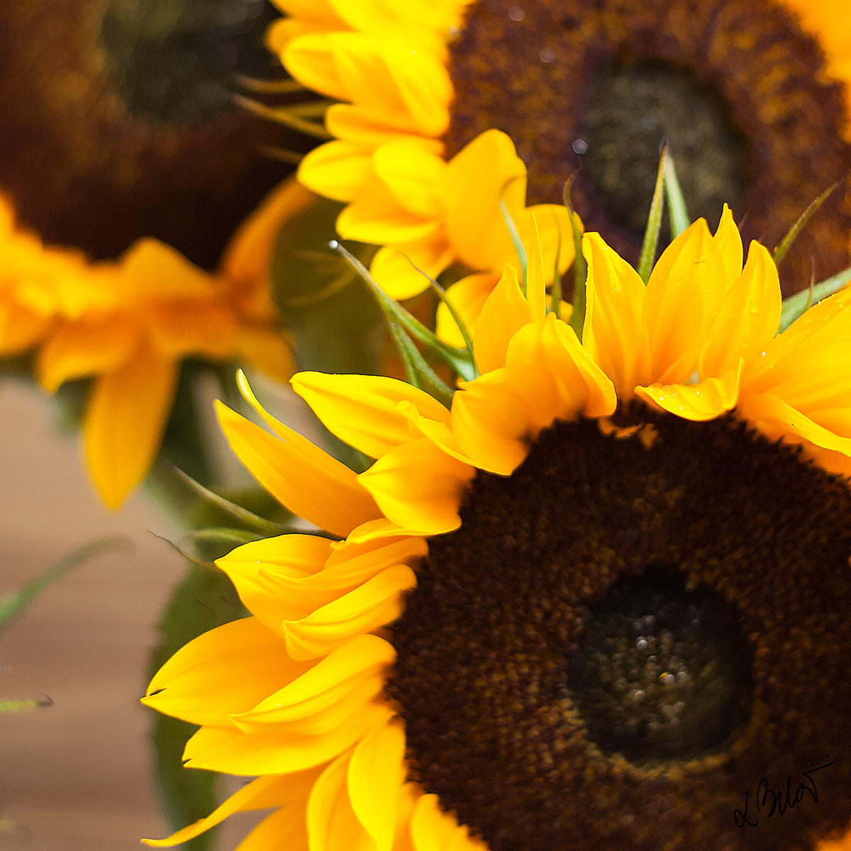 Autumn-Colours_sunflower